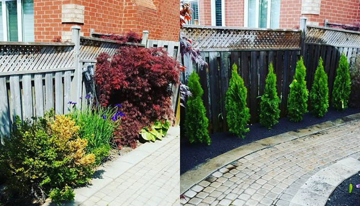 Hedge and Tree Planting Grand valley, Orangeville, And Mississauga Ontario.
